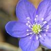 Anemone De Caen Mixed Flower Bulbs (100-, 200-, 500-Pack)