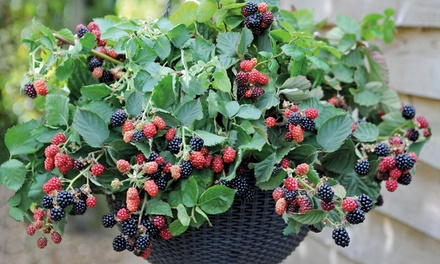 Basket Berry Collection from £13.99 or Lattice Hanging Baskets from £7
