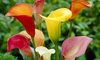 Pre-Order: Mixed Colors Calla Lily Flower Bulbs (8- or 16-Pack)