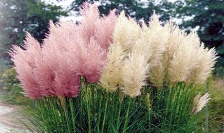 3 o 6 piante di Erba delle Pampas bianche o rosa con altezza alla consegna da 30 a 40 cm e con spedizione