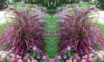 Pennisetum Firework Grass