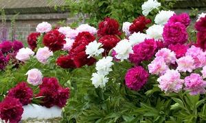 Lot 3 plantes Pivoines 15-25cm