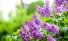 1, 2 o 3 piante di lillà Syringa Bloomerang