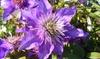Clematis Multi Blue Plant in 2L Pot