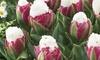 Double Peony Tulip Ice Cream (10 Bulbs): Double Peony Tulip Ice Cream (10 Bulbs)