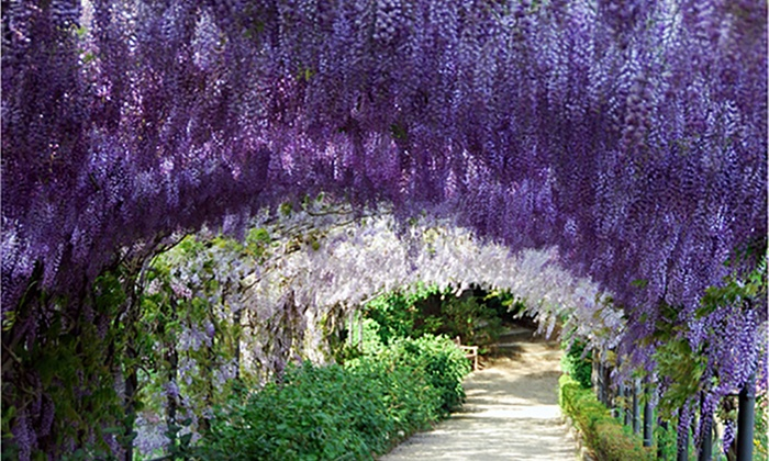 Pre Order Wisteria Vine Bare Roots 1 2 Or 3 Pack Groupon