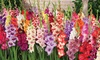 Glamini and Ruffled Parrot Gladiolus (15 Bulbs): Glamini and Ruffled Parrot Gladiolus (15 Bulbs)