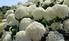 Set van 2 of 4 planten Hydrangea arborescens 'Annabelle'