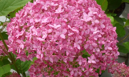 Hydrangea Pink Annabelle Shrubs from £7.99 With Free Delivery (Up to 62% Off)