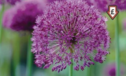 100 or 200 Allium 'Best Sellers' Bulbs