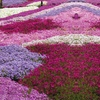 Phlox Creeping Collection
