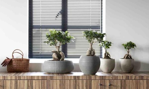 2 Of 4 Ficus Ginseng Bonsaibomen Met Naar Keuze Voeding