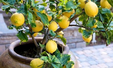 Four or EightPack Mediterranean Fruit Trees