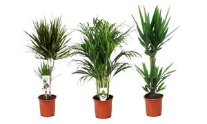Set de palmiers d'intérieur XXL