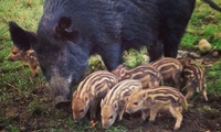 Seasons Pass for Child (£29.95) or Adult (£31.75) to Bowland Wild Boar Animal Park (Up to 21% Off)