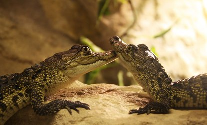 image for Crocodile and Venomous Snake Tour with Photo for One or Two at Crocs R Us (Up to 62% Off)