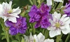 Pre-Order: Double Hardy Mixed Geranium Bare Root Plants (4-Pack)