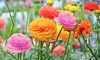 Pre-Order: Double Dutch Buttercup Mixed Bulbs (15-, 30-, or 75-Pack)
