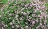Daphne Pink Fragrance 3-Litre Potted Plant