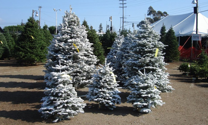 Anthony's Christmas Trees & Wreaths - Earl Warren Showgrounds: $21 for $30Towards the Purchase of aChristmas Tree at Anthony's Christmas Trees & Wreaths