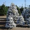30% Off Christmas Trees