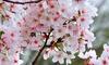 Flowering Cherry Tree Kojo-No-Mai Plant