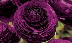 Pre-Order: Purple Buttercup Flower Bulbs (40-Pack)