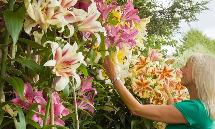 Groupon Goods Global GmbH: Lot de 9 ou 18 plantes Tree Lily en trois variétés