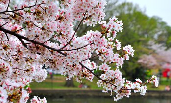 Flowering Cherry Tree Kojo-No-Mai