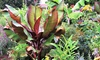 Set di 2 o 4 piante di Ensete Maurelii