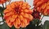 Dahlia Labella Grande Orange Plants