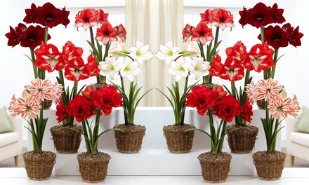 Three £14.99 or Six £24.98 Pots of Amaryllis With Free Delivery