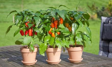 2er- oder 4er-Set Rotpaprika-Pflanzen 50 cm (Koln)