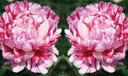Up to Two Peony Candy Stripe Plants from £8.99