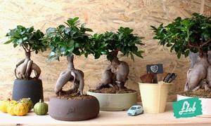 Flob : Bonsai Ficus Ginseng con vaso personalizzabile prodotto a mano, disponibile in 4 misure con Flob. Spedizione gratuita