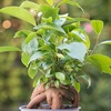 Bonsai Ficus Ginseng Potted Plant