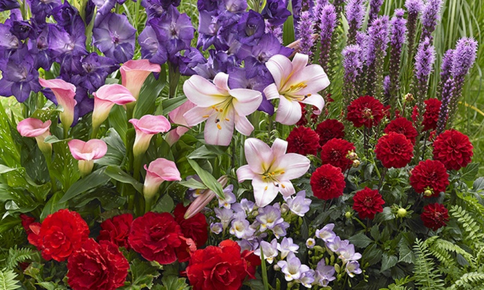 Pack of 19 Freesia /'Single Mixed/' Bulbs Good for cut flowers.