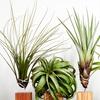 6 plantes Tillandsia Air