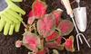 Iron Cross Flower Bulbs (50-, 100-, or 200-Pack): Iron Cross Flower Bulbs (50-, 100-, or 200-Pack)