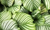 Calathea Orbifolia XL-plant