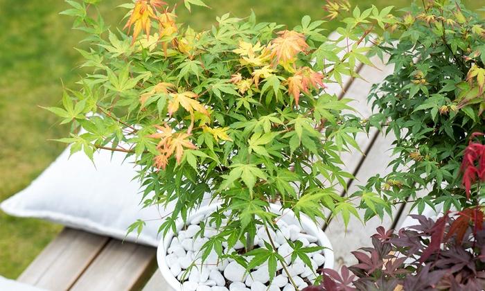 Aceri xxl groupon for Aceri giapponesi