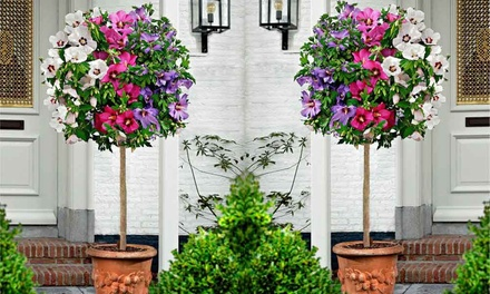 Tricolour Hibiscus Tree with Optional Flared Planter