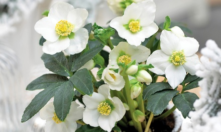 Plante rose de no l hellebore groupon for Plante de noel