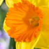 Daffodil Bulbs (8-, 12-, or 25-Pack)