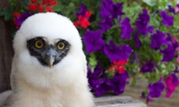 Owl Experience for One or Two at UK Owl and Raptor Displays (Up to 72% Off)