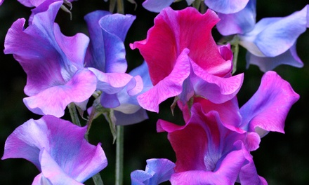 Colour Changing Sweet Peas 30 Plants