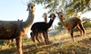 Up to 36% Off Alpaca Farm Tour at A Stroka Gene-us Alpacas