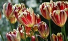 Pre-order Special Variety Tulips (15-Pack): Pre-order Special Variety Tulips (15-Pack)