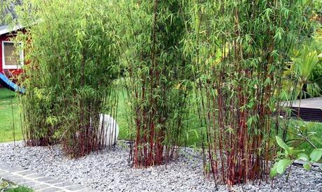 Set de 3 o 6 plantas de bambú rojo