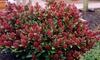 1 o 2 piante di Skimmia Rubesta